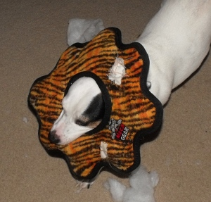 Dog toy test by a Jack russell terrier