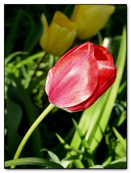 Shimmering Tulips