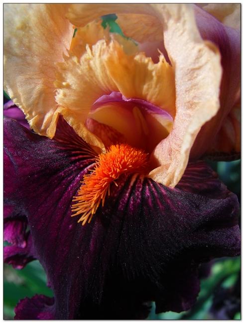Iris Garden in Nebraska