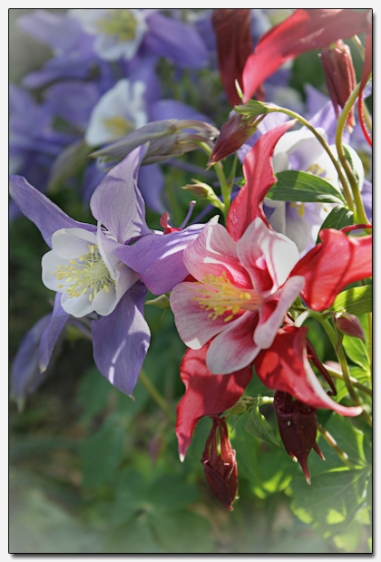 Columbines, the Colorado State Flower