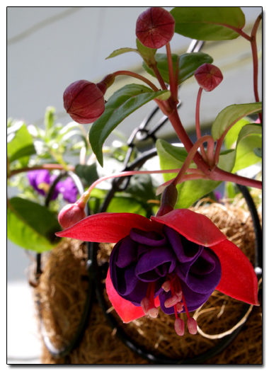 Fuscia in a Hanging Basket