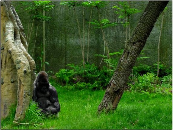 Gorilla in Omaha