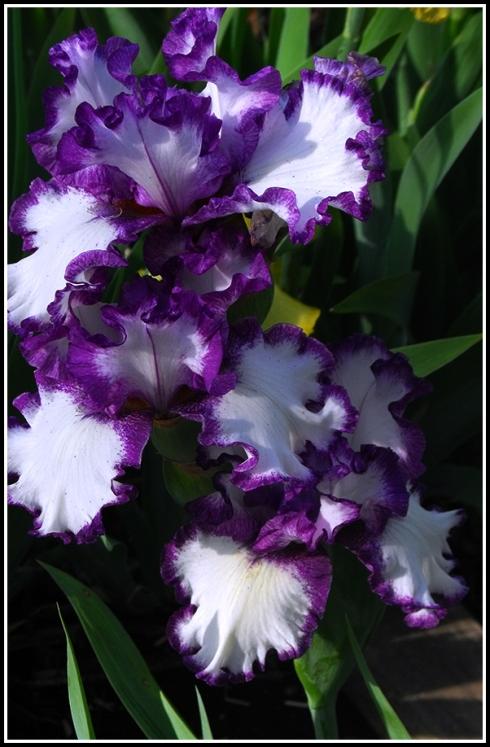 Barbara May Iris