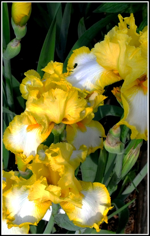 Emerald Sunrise Iris