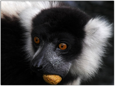 Lemur with a Monkey Biscuit