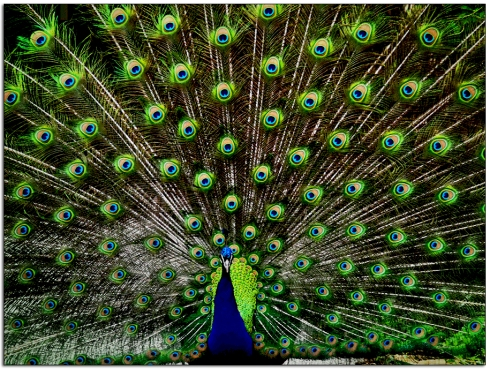 Strutting peacock