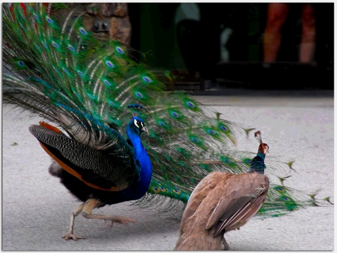 Peacock Chasing Peahen