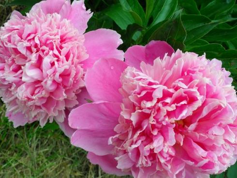 Pink Peonies (SOOC)