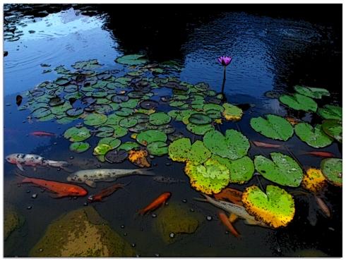 Koi Pond at Sunken Gardens
