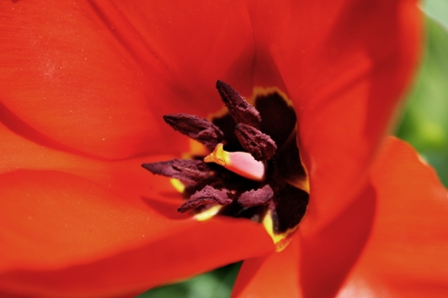 Tulip flower porn