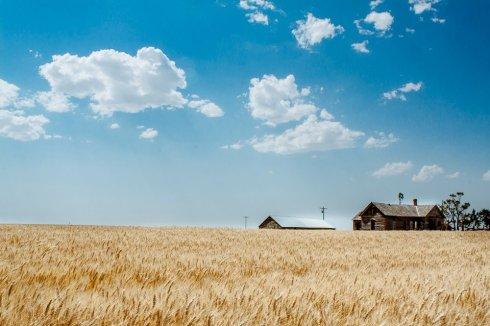 Wheat in Western Nebraska