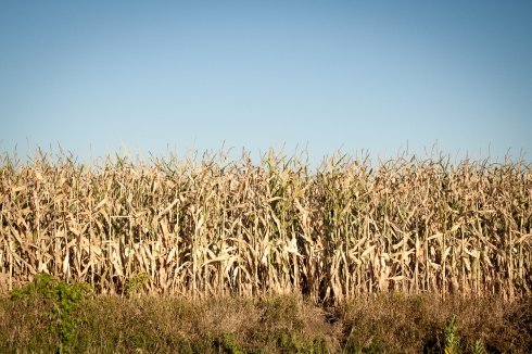 Drought burned corn in Nebraska